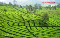 Ciwidey kebun teh