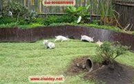 Ciwidey rabbit park