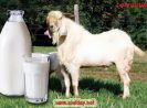 Ciwidey susu kambing etawa